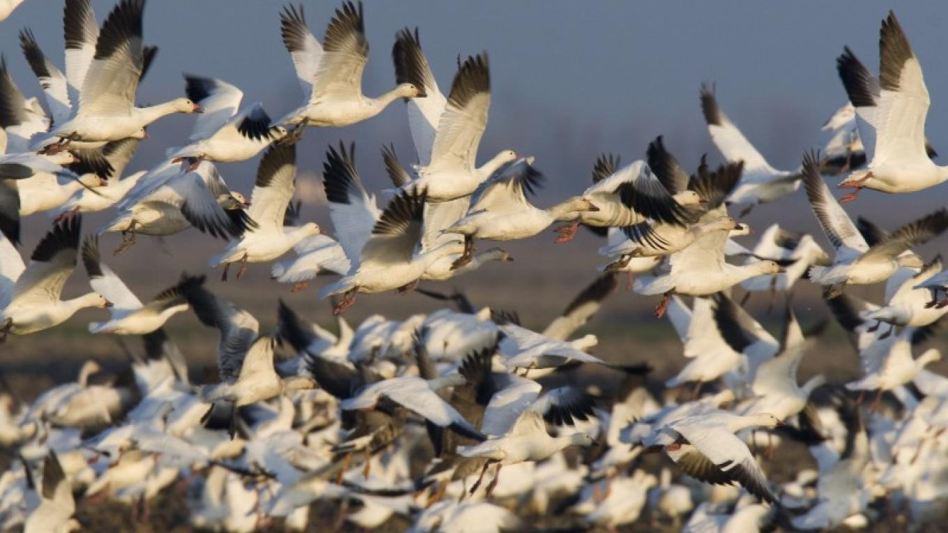 Snow Geese – Mike Peters