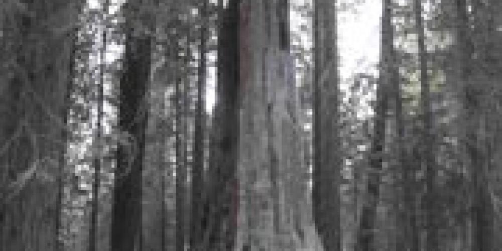 Large sequoias