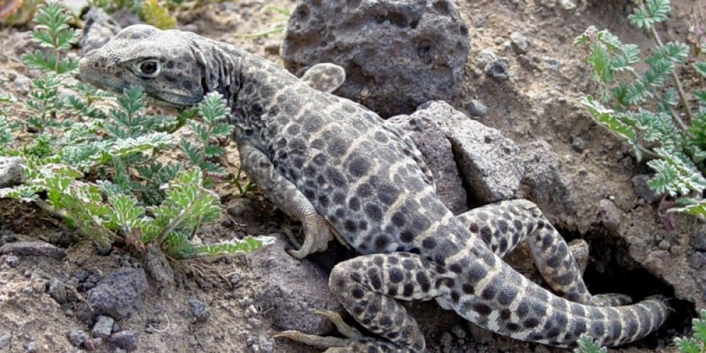 Leopard Lizard in lower Indian Wells Canyon – Shelley Ellis