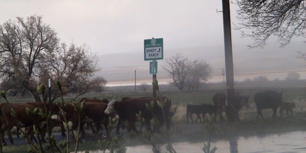 Cattle drive on 299 getting out of site. – Jim Brown