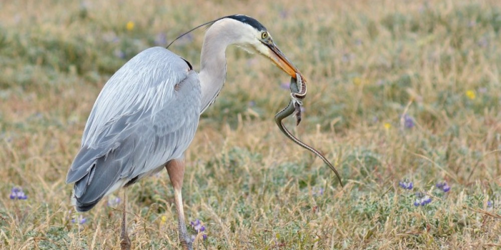 California Wildlife Photo of the Year 2016 Great Blue Heron whips Common Garter Snake who is regurgitating its breakfast of a tiny Shrew. Bodega Bay, CA Photo of the Year 2016 – Joshua Asel