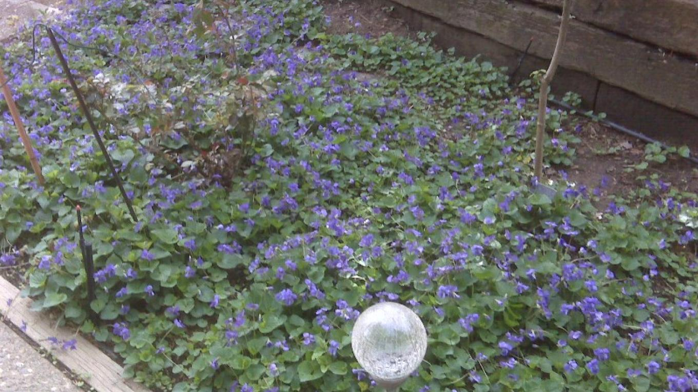 Spring Violets in the Garden – Peggy Mosley