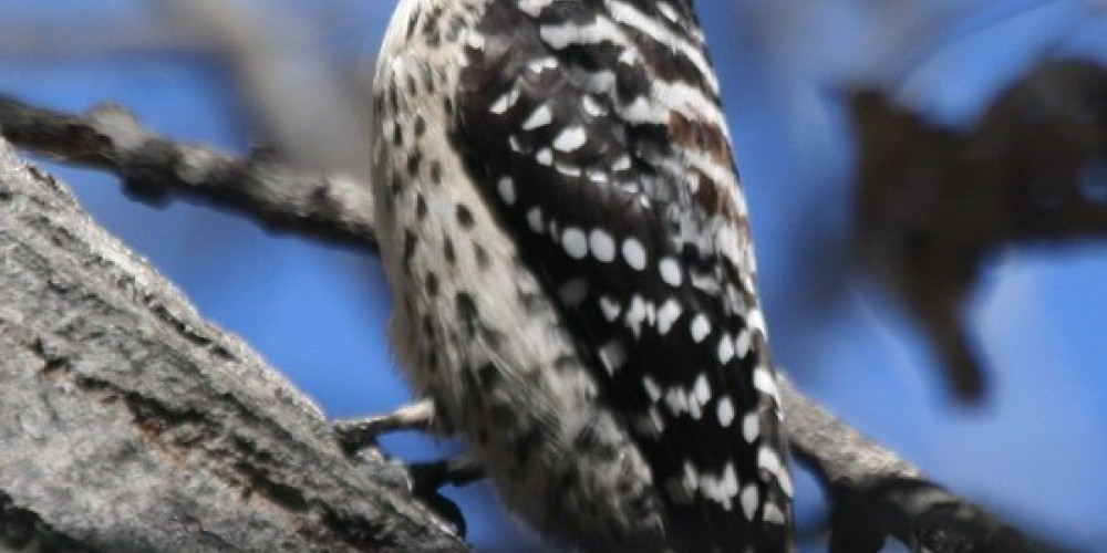 This female Nuttall\'s Woodpecker is just one of seven species of woodpecker that have visited the preserve. – Alison Sheehey