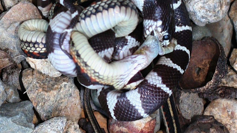 KIng Snake & Garden Snake – Dofflemyer