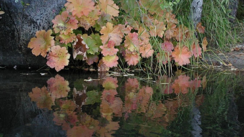 Indian Rhubarb – Joanne Freemire