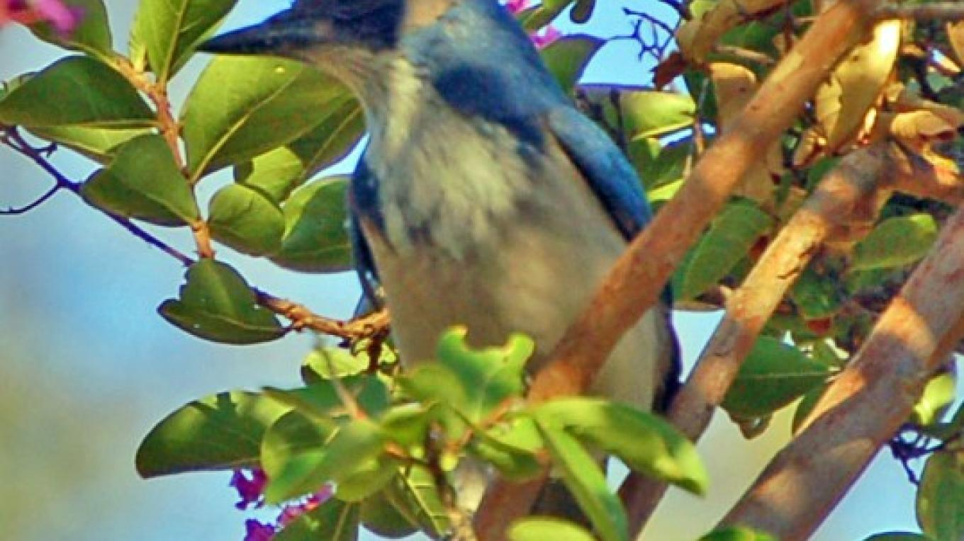 Foothills Blue Jay, Three Rivers, California – Tom Marshall