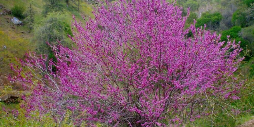 Redbud tree courtesy of Redbud Garden Club – Redbud Garden Club