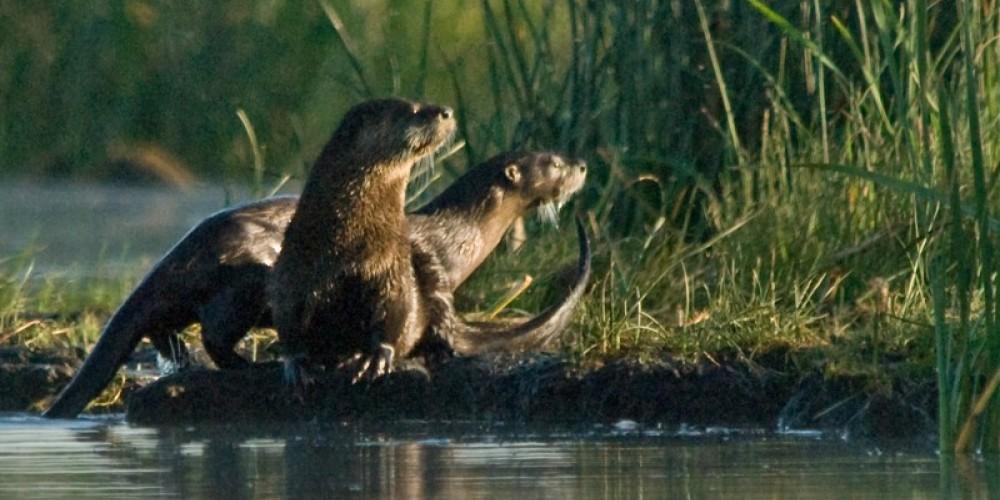 River Otters – Jim Duckworth