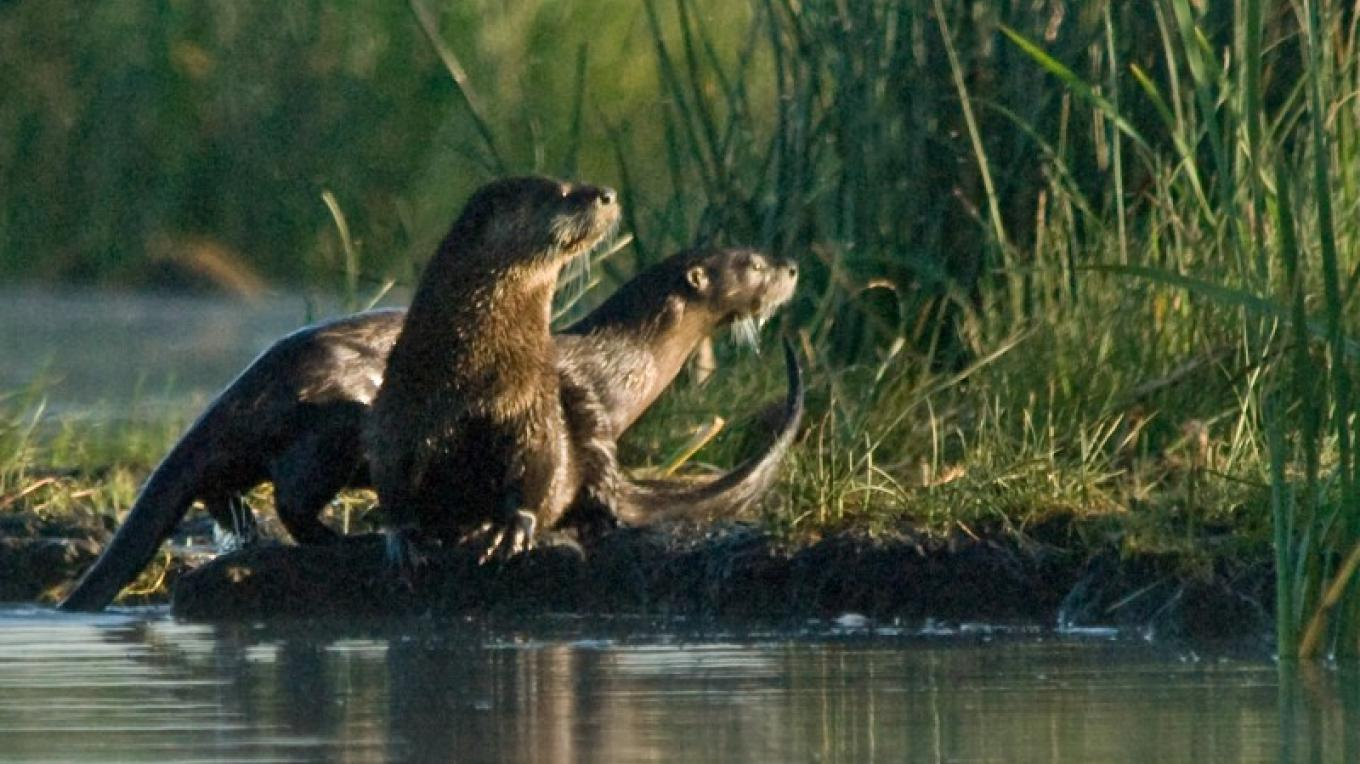 River Otters – Jim Duckworth