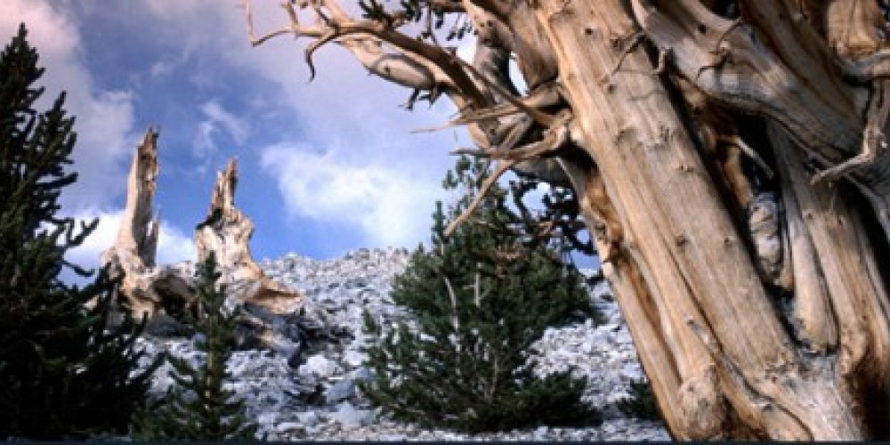 The trees in the Ancient Bristlecone Pine Forest produce vivid images and contrasts.