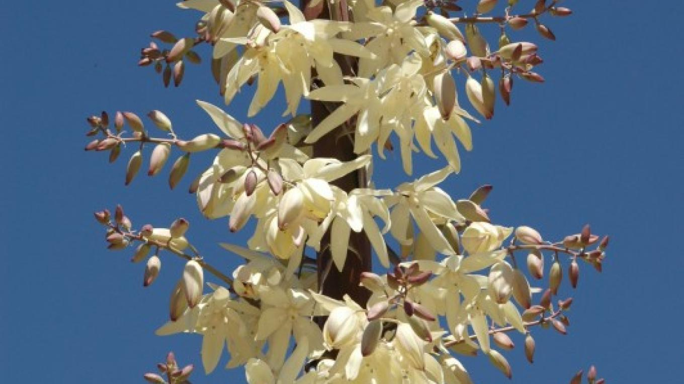Yucca whipplei - Bright Star Wilderness – Shelley Ellis