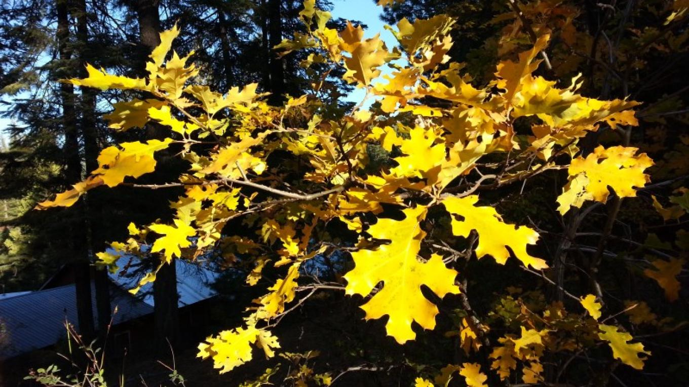 Fall Oak leaves on the Hideaway property in 2013. Leaf Peepers delight around October and November. – Jeff Luke Titcomb