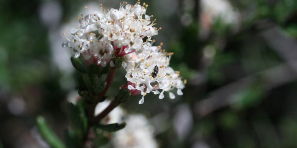 Pine Hill ceanothus – Pine Hill Preserve