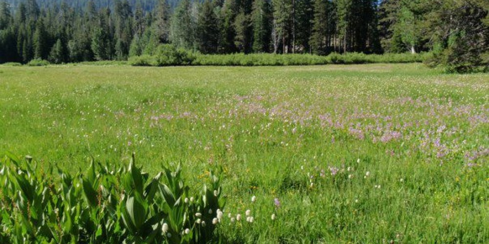 Shooting stars, bistort, and corn lilies are a few of the many wildflower species in Bell Meadow