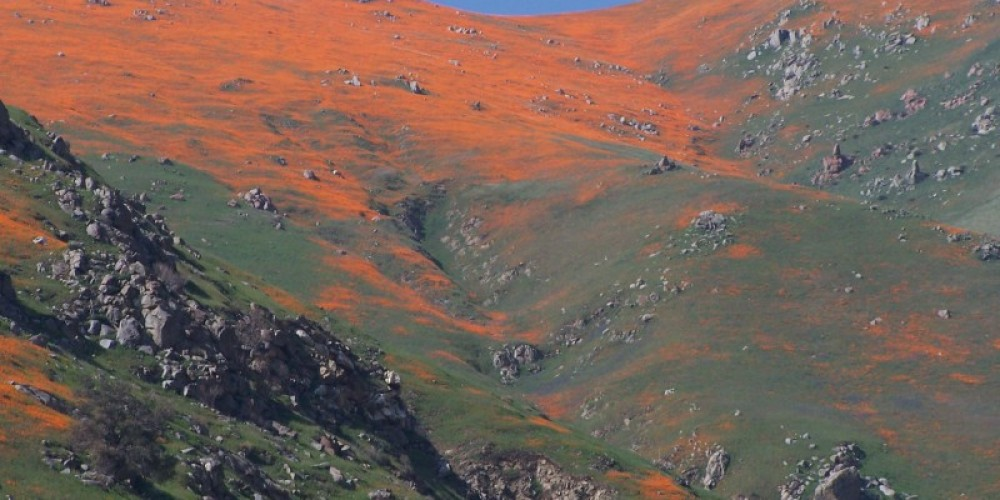 California Poppys in the Kern Canyon – Frank Brassell