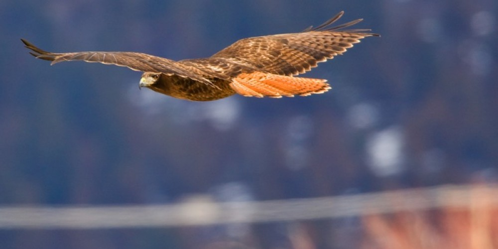 A Red Tail Hhawk flies across a field – Darby Hayes