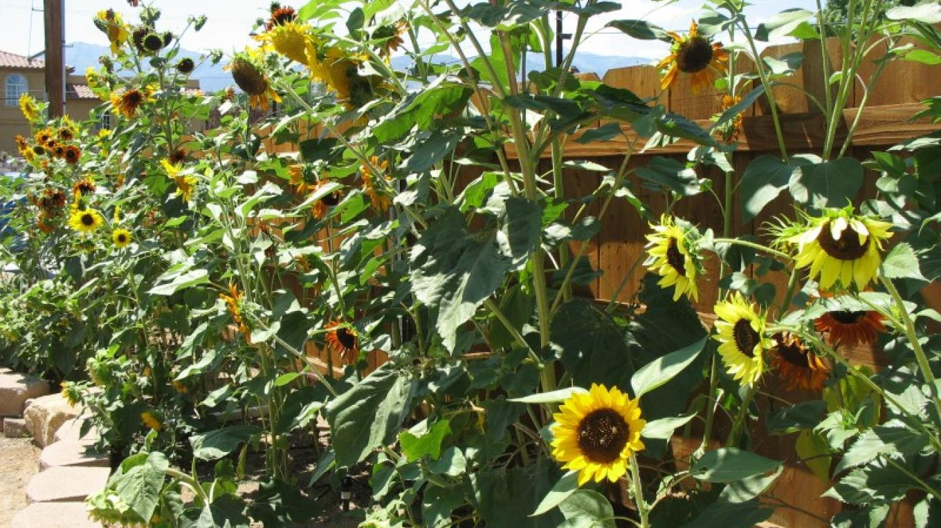 In spring and summer the sunflowers are abuzzzz – Staff