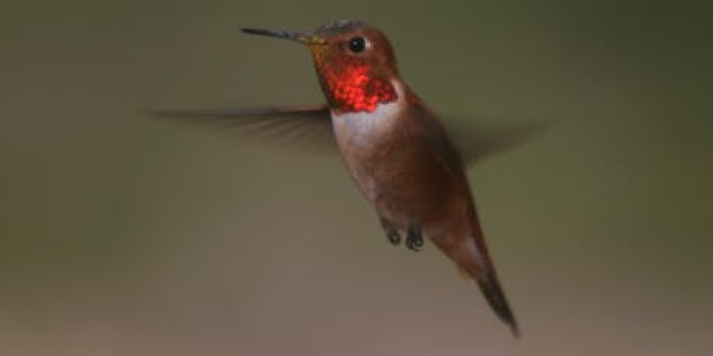 Rufous Hummingbirds migrate from July through early September by the thousands. – Alison Sheehey