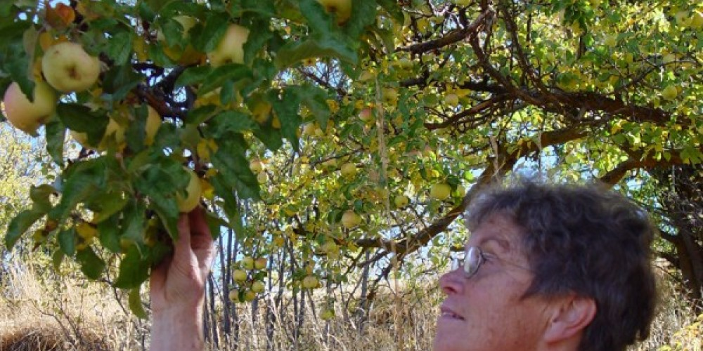 Betsy Ingraham checks on the ripeness of her 100 year old orchard heirloom apples. – Jean Bilodeaux