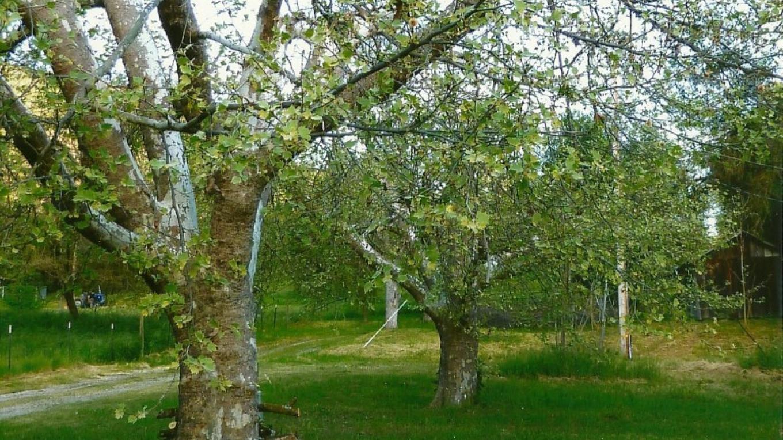 Orchard – Susan Leeper
