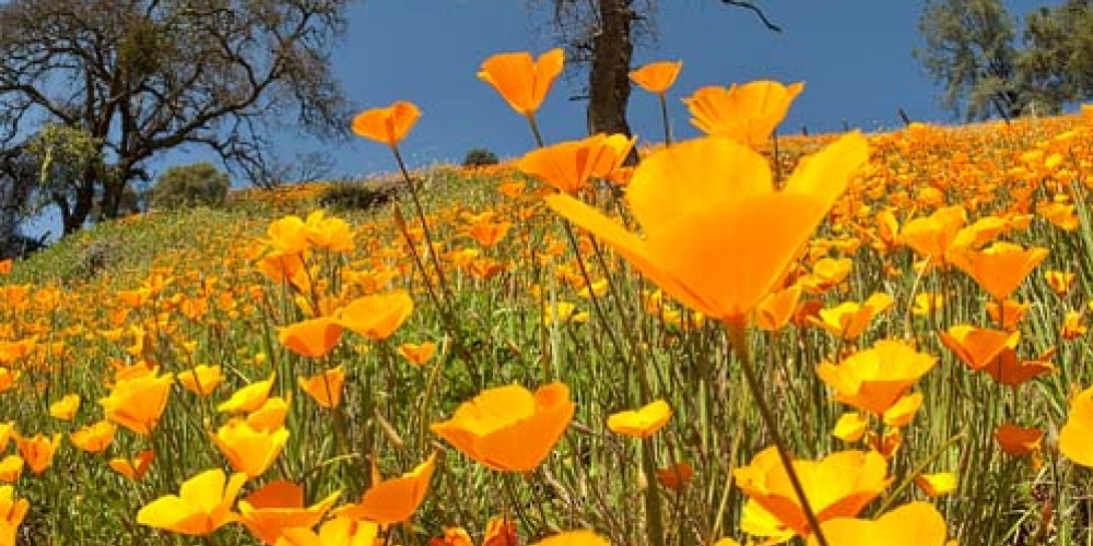 Spring poppies, Amador County. – Larry Angier