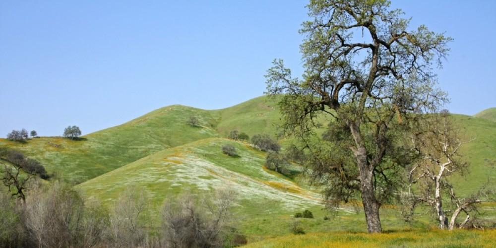 An oak on the hillside in spring – John Greening