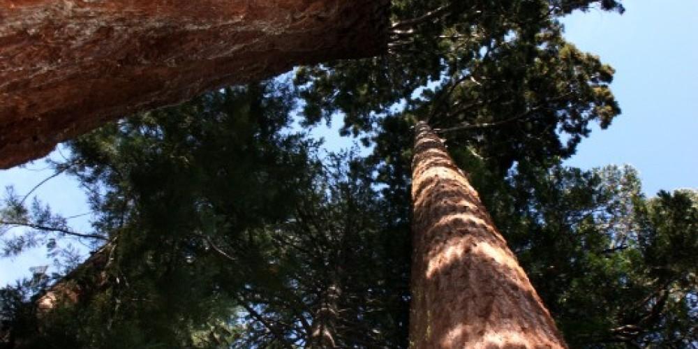 Placer Big Trees Grove – Darin Pointer - www.ffgphotos.com