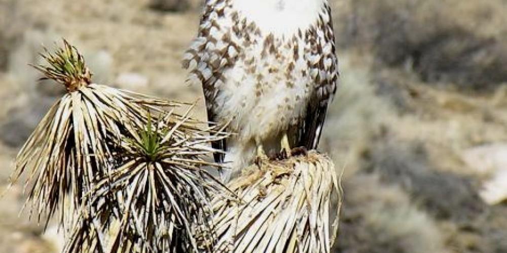 Redtail hawk on Joshua tree – shelley Ellis