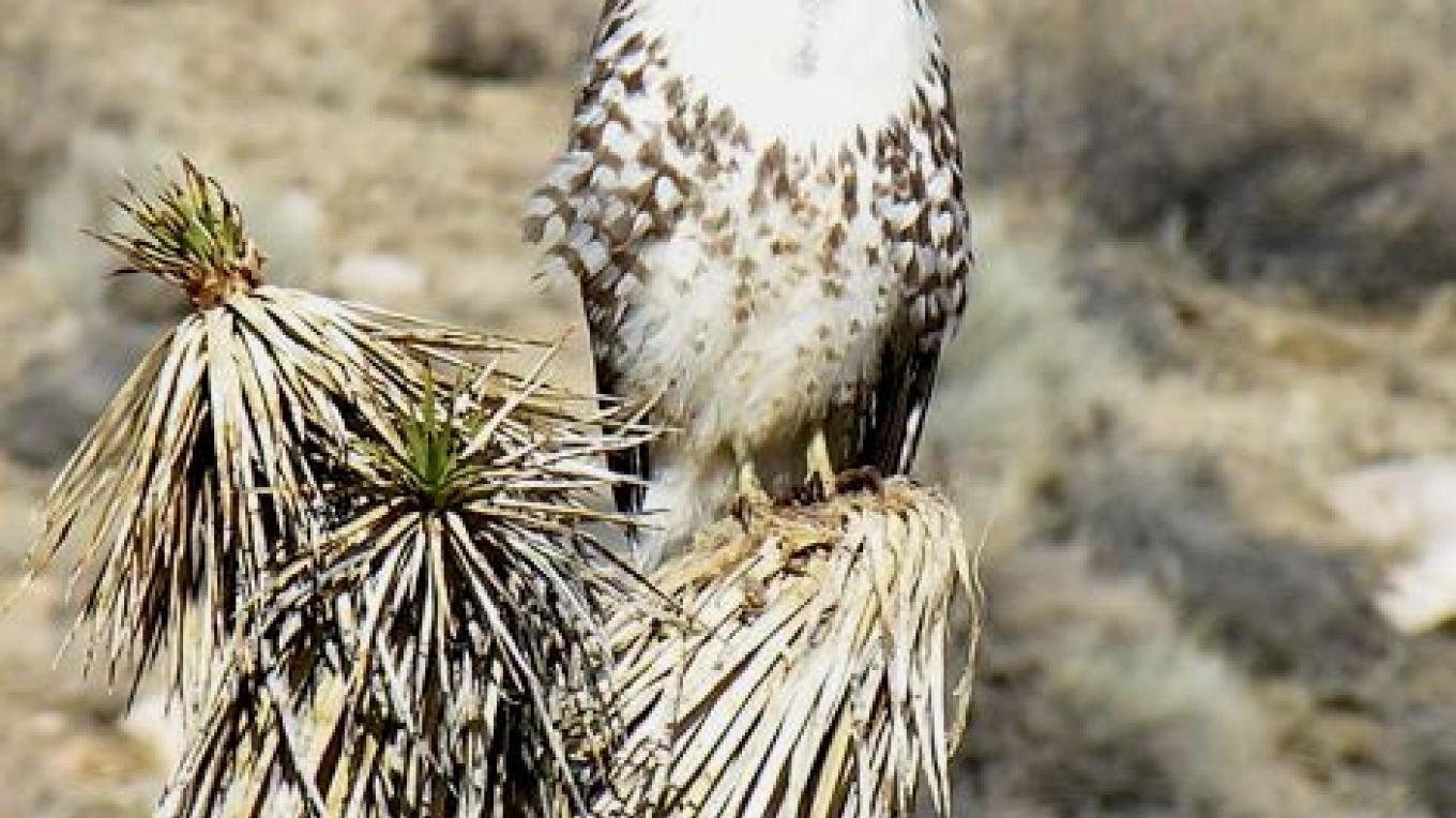 Redtail hawk on Joshua tree – shelley Ellis