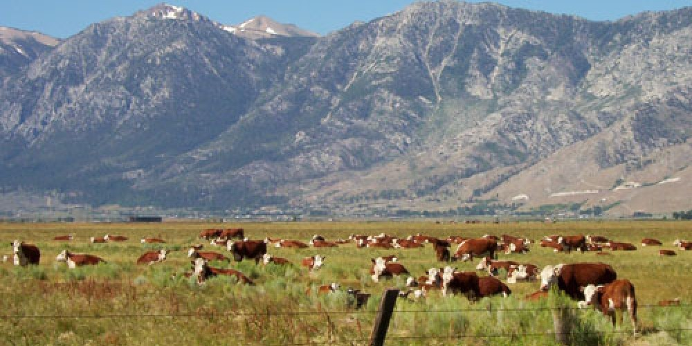 Cattle grazing in the beautiful Carson Valley tucked beneath the Sierra Nevada's. – Nevada Commission on Tourism