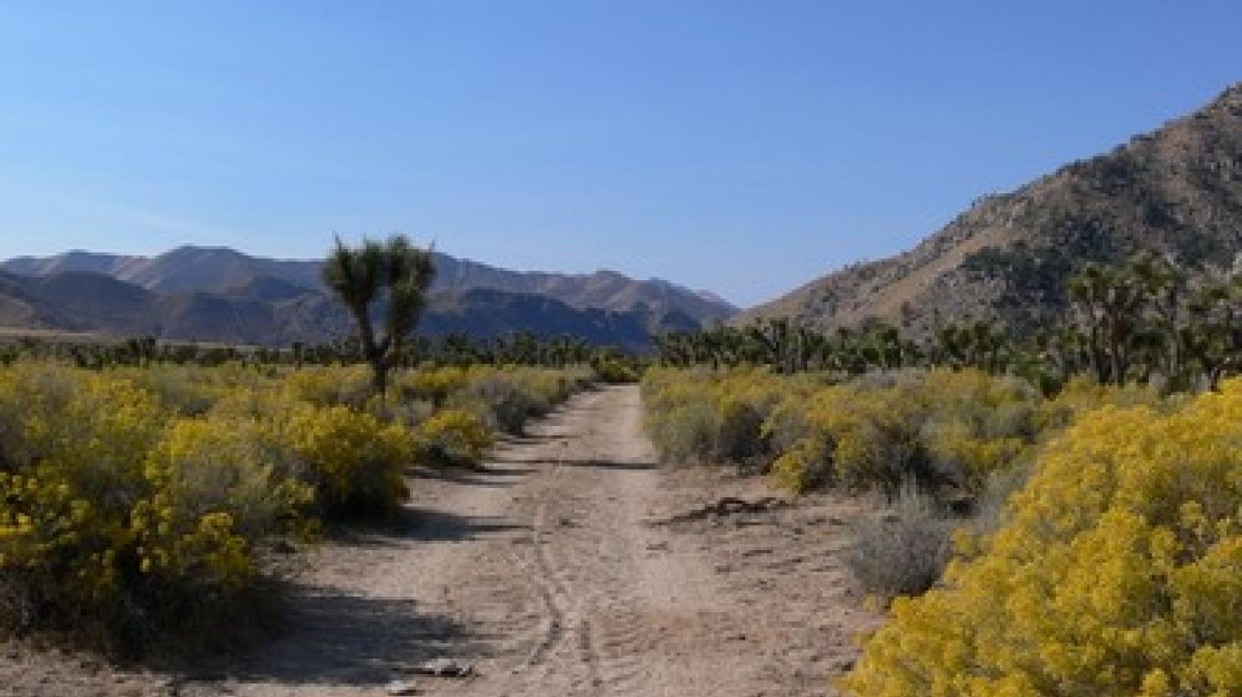The entry to the Canebrake Ecological Reserve begins with rabbitbrush and Joshua tree. – Alison Sheehey