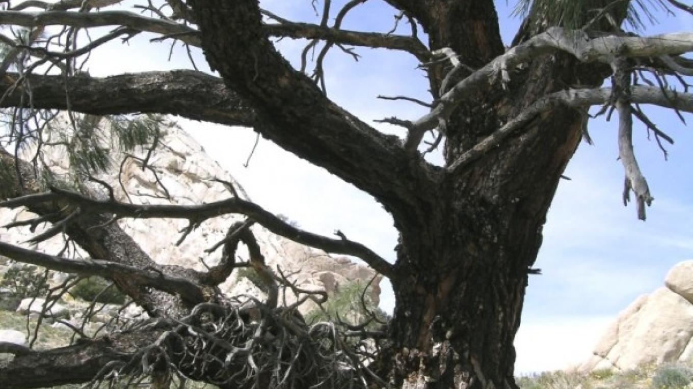 Oak tree between Short & Grapevine Canyons – Shelley