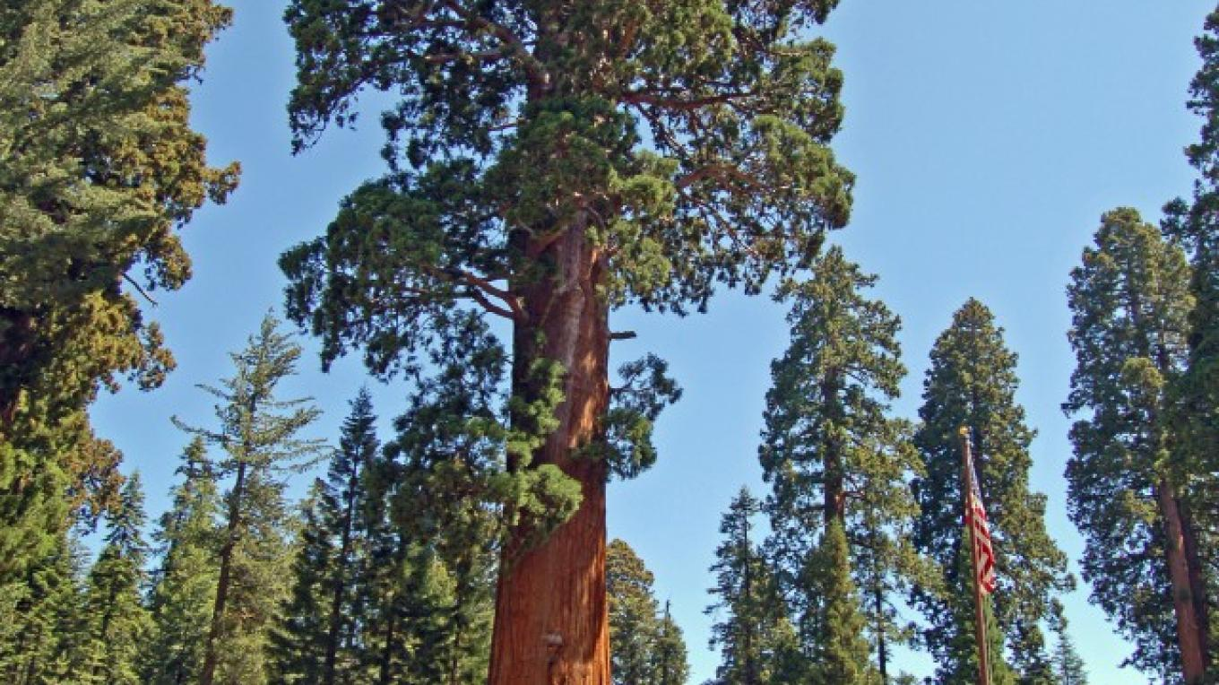 Giant Sequoia Tree at the Giant Forest Museum, Sequoia National Park – Tom Marshall