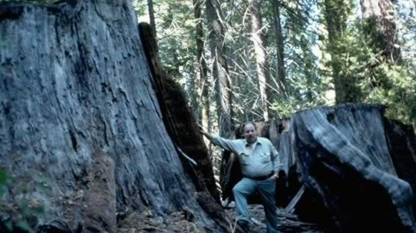 Huge stumps in Converse Basin Grove left over from extensive logging operations in the 1800s. – USFS