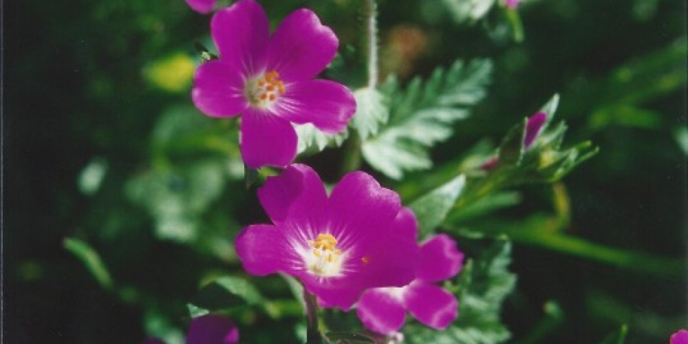 Filaree - Erodium cicutarium. The  dainty blossom is smaller than your little fingernail. The plant grows very close to the ground. – Judith Preuss