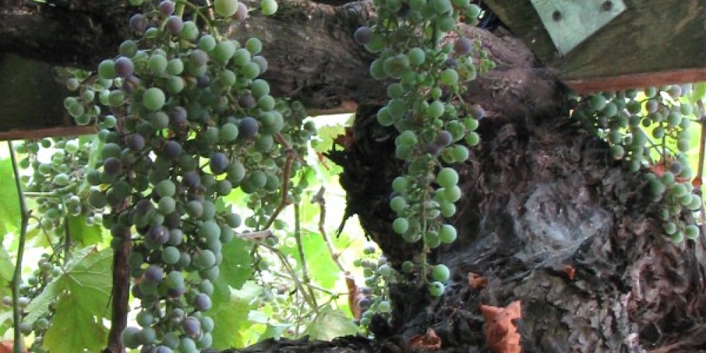 As a finale, Kay and Jack shows us the original grape vine, thought to be 100 plus years old. – Karrie Lindsay