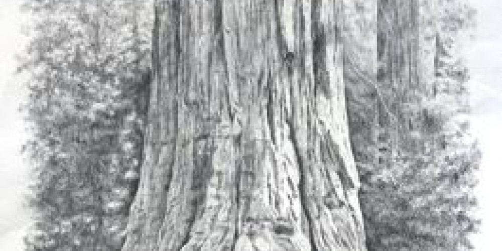General Sherman Tree, pencil drawing