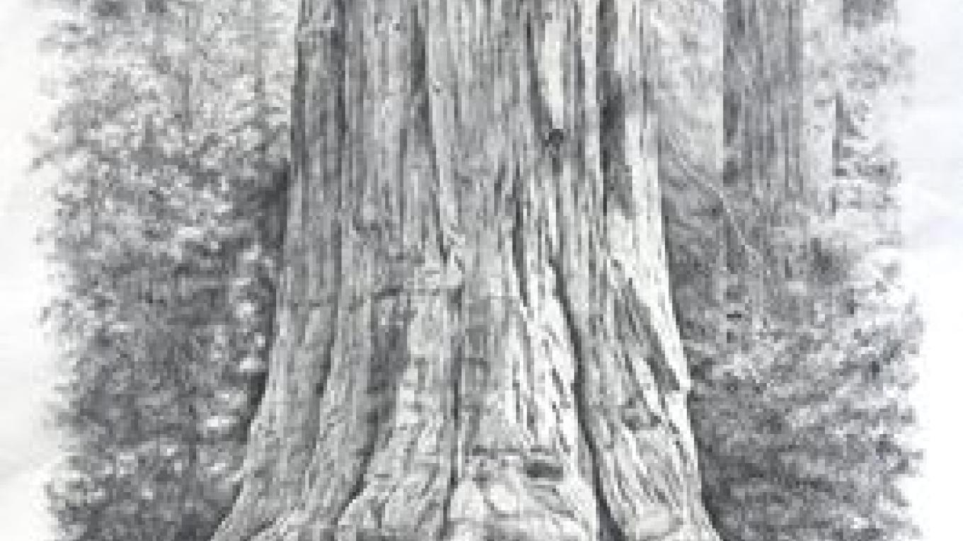 General Sherman Tree, pencil drawing