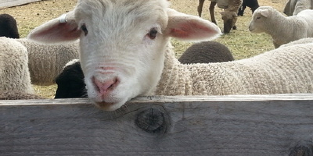 """Harvey Farms and Forestry - Meet the sheep and alpacas, selected for their fine wool, and visit the """"Fiberistas"""" demonstrating and vending all aspects of wool fiber arts, from animal husbandry to finished product. – Photo by Harvey Farms"""