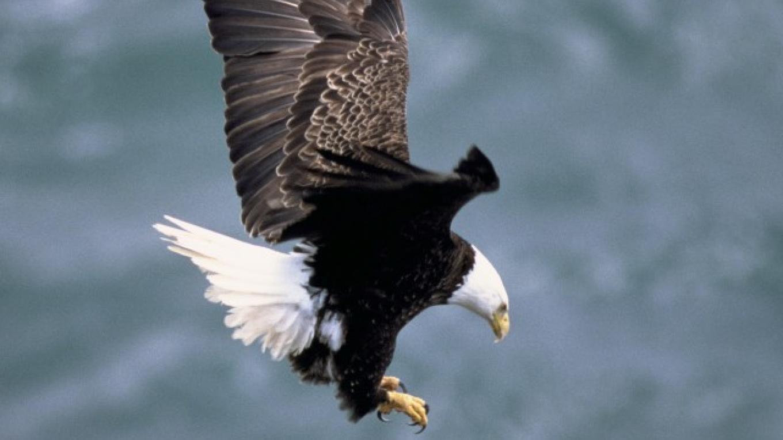 American Bald Eagle – Dave Menke