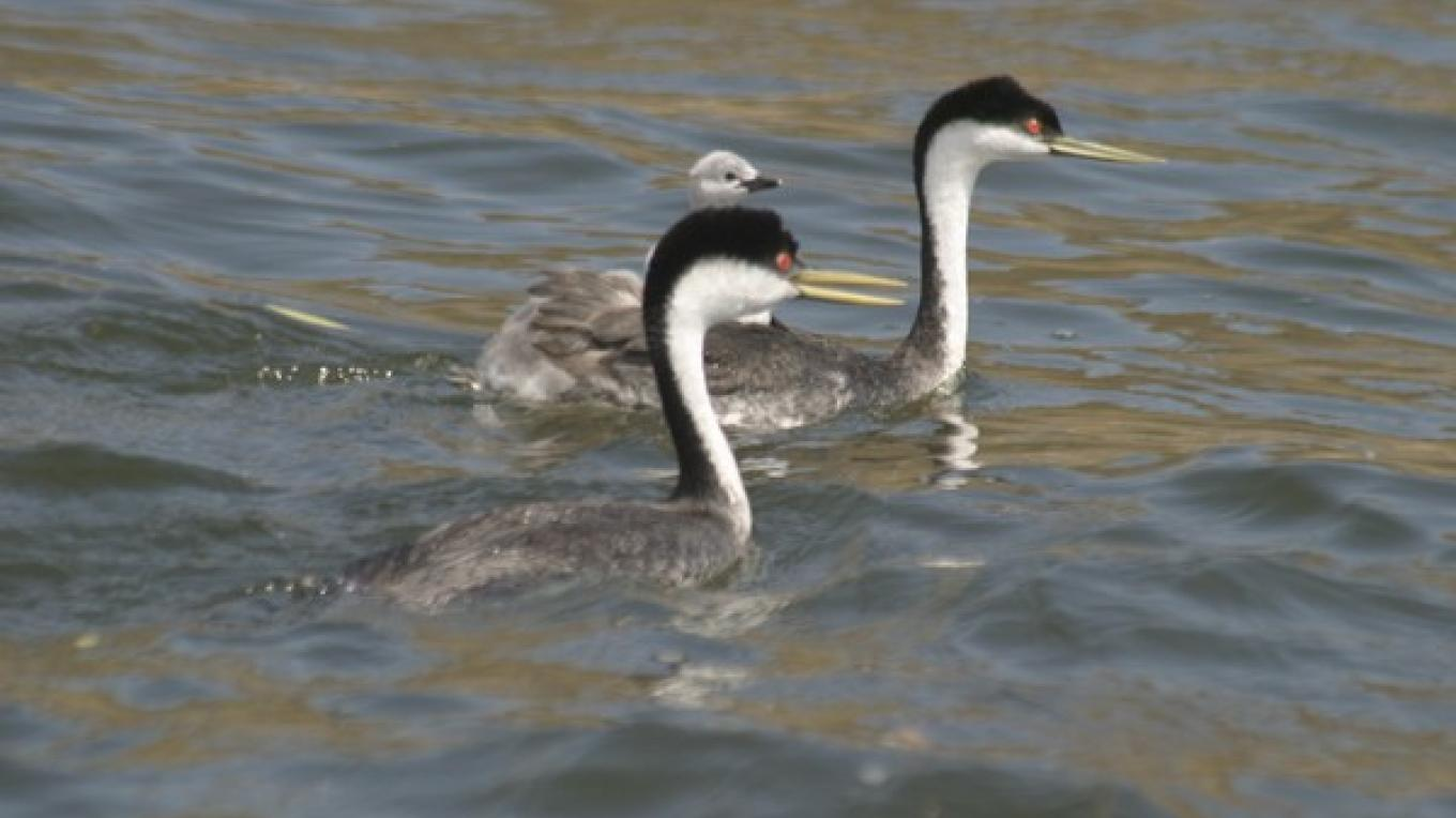Western Grebe families nested in the flooded wildlife area in 2005. – Alison Sheehey