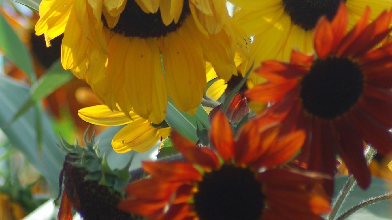 Sunflowers – Jeanetta Phillips