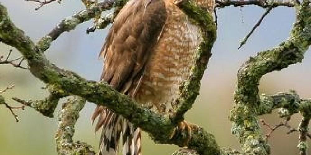 Coopers Hawk – John Turner