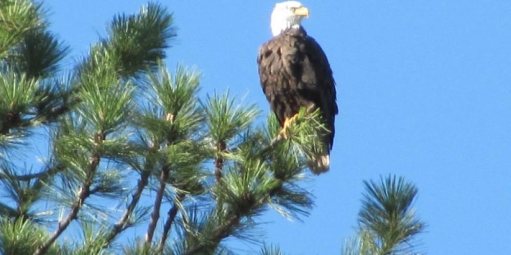 Eagle at St. Bernard Lodge