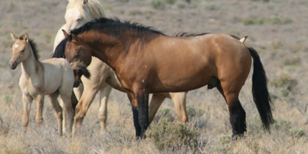 Carter Reservoir Stallion with lots of primitive dun markings – Carter Reservoir Mustangs Inc - Darice Massey
