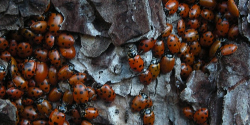 In the fall and winter, hikers can see ladybug migration sites along the Stevens Trail (Colfax side) – Jay Shuttleworth