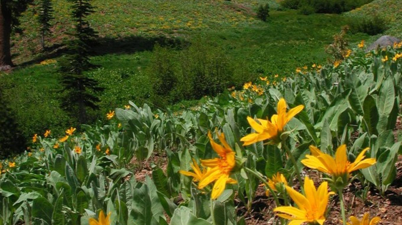 Mount Diller towers over a field of Mule Ears – NPS Photo