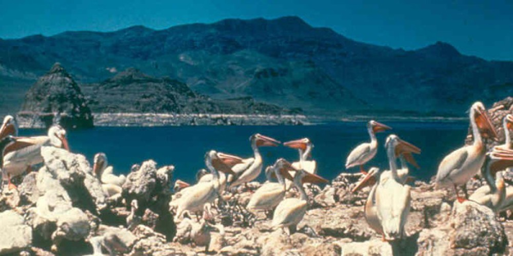 The American White pelican colony protected on Anaho Island is one of the two largest in the