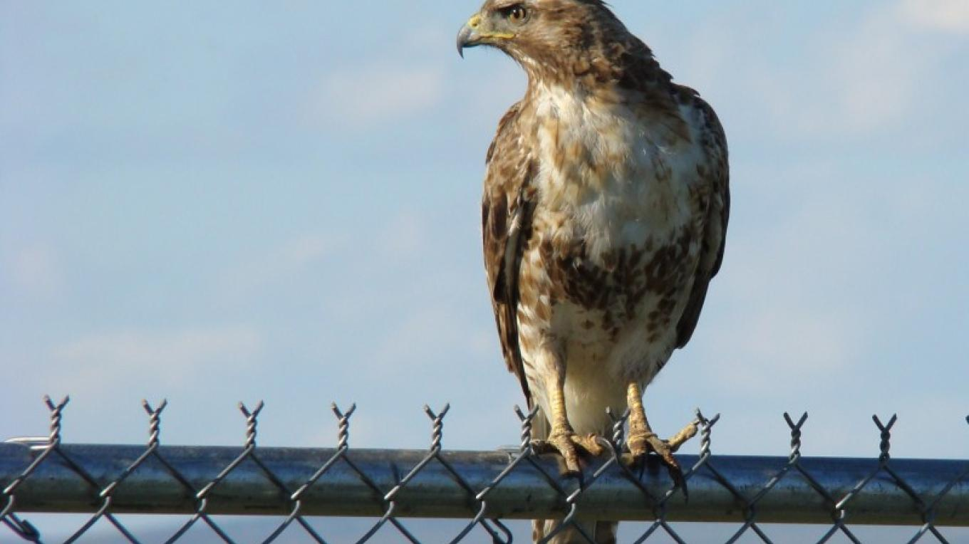 Red Tail Hawk – Jean Bilodeaux