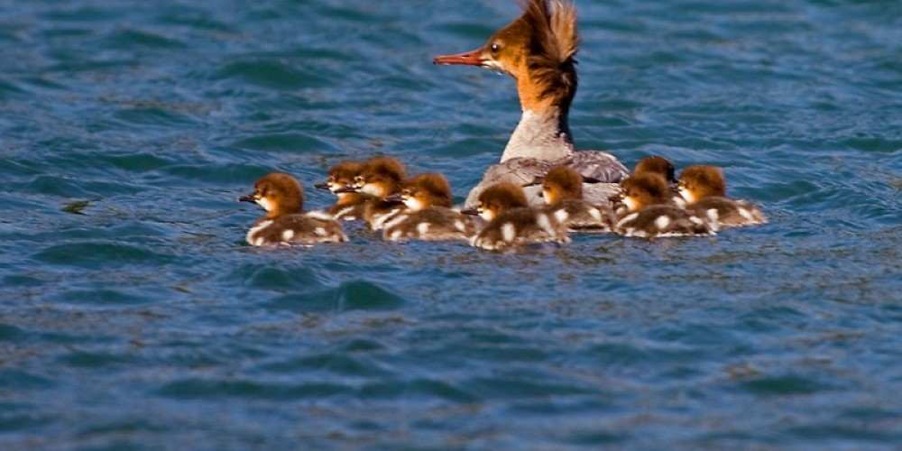 Merganser with babies – Darby Hayes